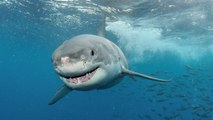 Choc Requin Attaque - bullshark Attaques chasseurs sous-marins !