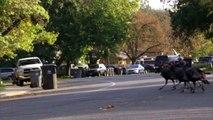 Terrified Residents Call 911 Over Wild Turkeys Terrorizing This Small Town-vt11RLHvny8