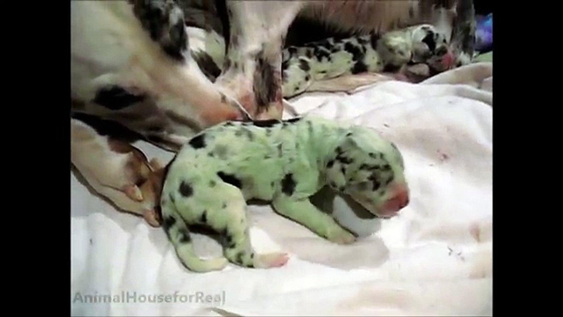 Amazing Dog Birth Great Dane Puppy Born Green Xej 2rw8a8q Video Dailymotion
