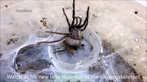 Amazing skin crawling footage of tarantula moulting skin looks like alien duplicating its own body