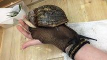 L'escargot le plus gros du monde est aussi grand que son poignet