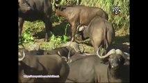 Most Amazing Wild Animal Attacks - Prey Animals vs Predator Fight Back - Lion,Crocodile,Buffalo