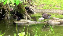 Cute moorhen family- five fluffies , too much for a tree-qUrQOUoHI_M