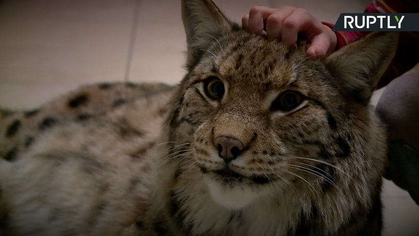 This Is What It's Like to Have A Pet Lynx - video dailymotion