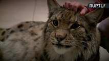 This Is What It's Like to Have A Pet Lynx