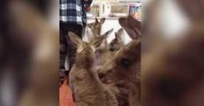 Orphaned Joeys Wrestle and Play While Waiting for Milk Bottles
