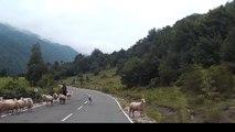 Une bergère se fait attaquer par l'un de ses moutons !