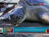 BP:  Pawikan, natagpuan sa baybayin   ng Ilocos Norte; Grass owl,   nahuli sa isang Subd. sa Davao