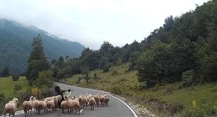 Un mouton attaque une bergère en Albanie