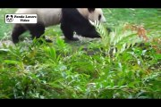 Giant panda bear, cute pandas for kids compilation