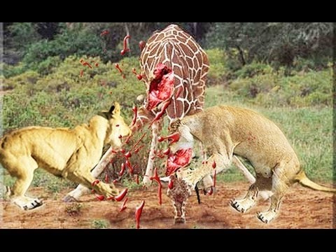 Attaque de girafe vs lion – Lioness Hunting Buffalo attacks! Earthy Crust – giraffe vs lion attack