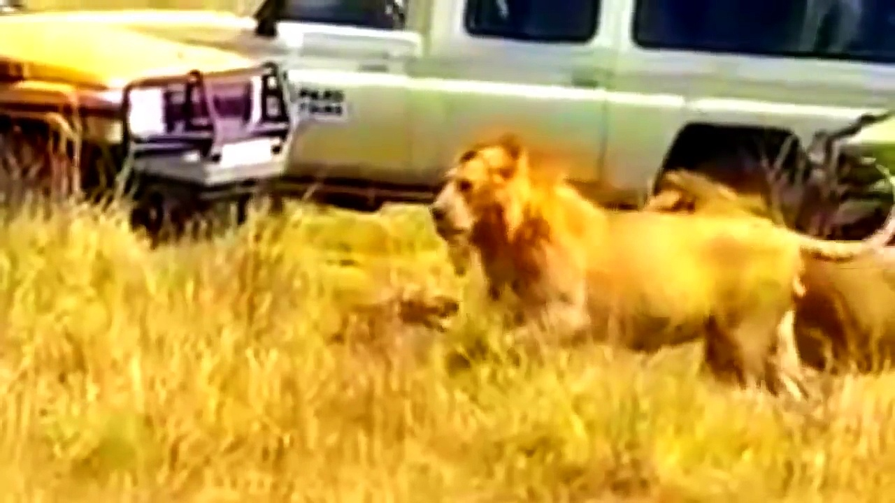 The Lion attacks The Hyena baby – Wild Animal Her friend helps her%21 lion vs hyena fight