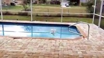 Dog desperately wants to swim. Super anxious dog wants to visit the swimming pool