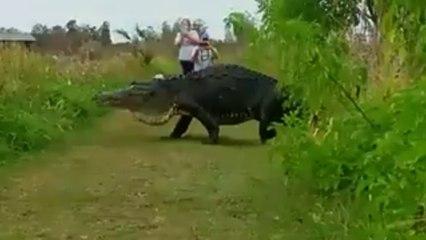 La Policía publica el vídeo de un cocodrilo gigante en Lakeland, Florida