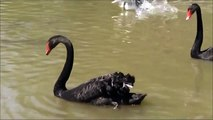 Mute Swan, Black Swan and Coscoroba Swan