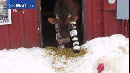 Une femme fabrique des prothèses à une vache pour lui permettre de marcher !