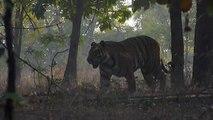 Royal Bengal Tiger (Panthera tigris tigris) [Endangered]