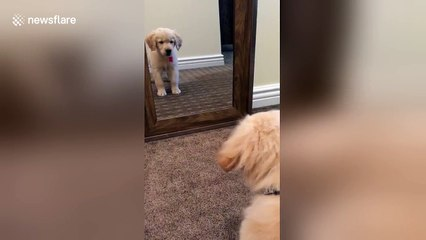 Golden retriever puppy sees himself in mirror for first time