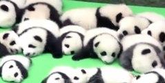 23 adorables bébés pandas voient le jour en Chine.