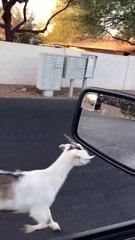 Un joggeur se fait poursuivre par une chèvre