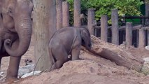 Cet éléphanteau adorable joue dans le sable !