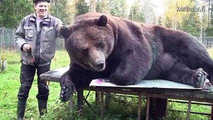 Je vous présente Juuso, l'ours qui peint