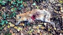 Chasse aux sangliers - Quadruplé de sangliers - Boar hunting