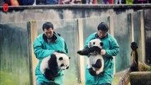 En Chine, deux bébés pandas font leurs premiers pas au zoo