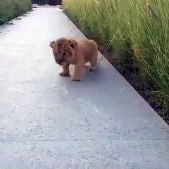 Leãozinho surge da grama e tenta rugir. Porém, o barulho que ele faz é fofo demais!