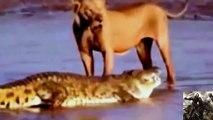 Best Documentary Films Animals Attacks Lion - Wild Animal Killed Lion