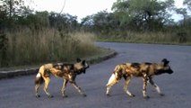 Wild Dogs on the Hunt - 28 April 2012 - Kruger Sightings - Latest Sightings Pty Ltd