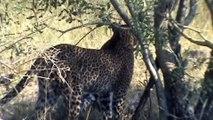 Leopard hunting impala - 29 April 2012 - Kruger Sightings - Latest Sightings Pty Ltd