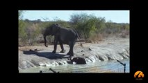 Herd Of Elephants Rescues A Calf - So Beautiful! - Latest Sightings - Latest Sightings Pty Ltd