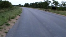 Kruger Sightings - Ostrich Family Runnin In The Road - 6 December 2011 - Latest Sightings Pty Ltd