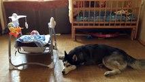 Хаски успокаивает малыша Приколы   Husky baby calms Comedy