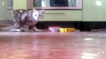 Стеснительная кошка)