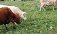 Une tortue fait la misère à un troupeau de vaches.