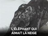 Instant meûgnon : l'éléphanteau découvre la neige