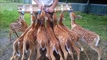 L'heure du biberon pour un troupeau de faons
