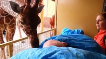 Ces girafes disent adieux à leur soigneur mourant. Tellement émouvant