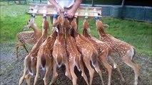 Un troupeau de faons impatients à l'heure du biberon