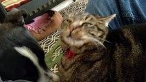 Ce chat se fait doucher par la langue d'un chien ! Quelle patience...