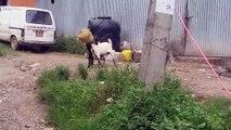 2 chèvres, un pot, tête coincée... Ahahah