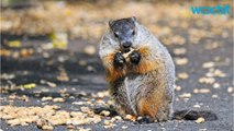 In Honor Of Groundhog Day, 7 Things To Know About Groundhogs