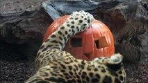 Jaguars and Polar Bears Celebrate Halloween at the San Diego Zoo