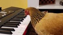 Une poule joue du clavier