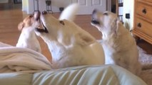 Trio of dogs engage in extreme howling contest