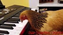 Une poule qui joue du piano