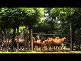 NET17 Kegagahan Kuda kuda Sumba