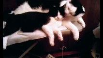 7 забавных тайских котов. Симпатичные котята